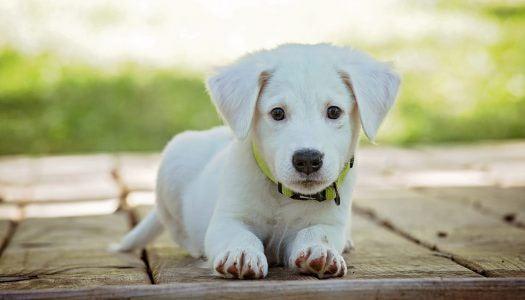 Viselkedéskutatás: keverék és fajtatiszta kutyákat vizsgáltak