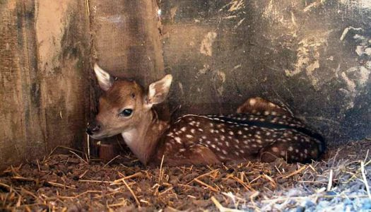 Dámszarvas bébi született a Gyöngyösi Állatkertben