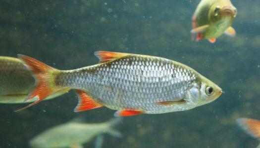 Transzneművé válnak a halak a vegyszerektől