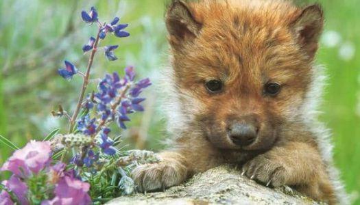 A farkasok is lehetnek az emberek barátai