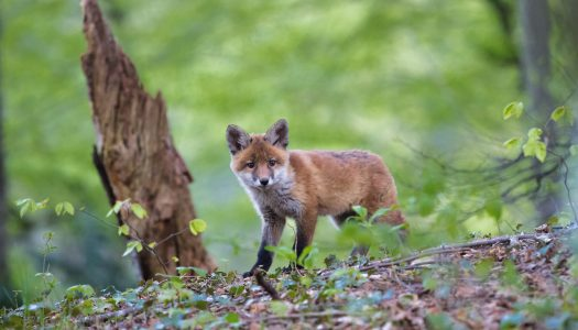 Veszettség elleni kapszulákat szórnak ki a rókáknak