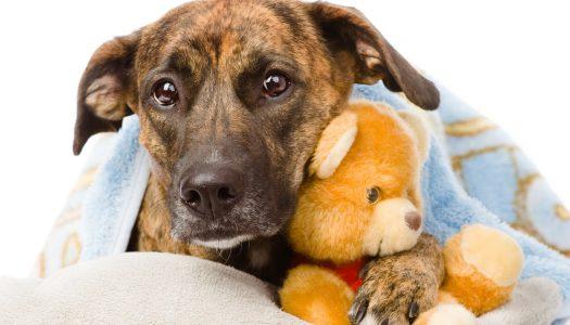 Kennel köhögés – veszélyben a kutyánk?