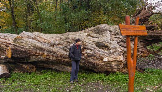 A parádfürdői Rákóczi-fa legendája