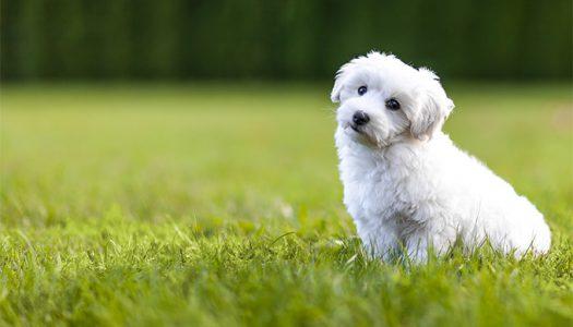 Melyek azok a kutyafajták amelyek legkevésbé hullatják szőrzetüket?