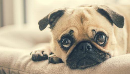 Jól gondold át, vásárolsz-e nyomott orrú kutyafajtát és inkább válassz mást