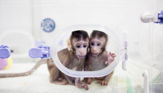 Félelmetes tudományos áttörés: sikerült majmokat klónozni