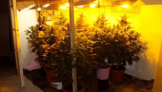 Kannabiszt termesztett